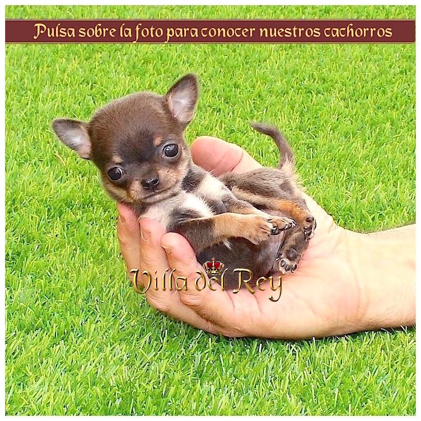 23+ Fotos De Perros Chiguaguas Enanos